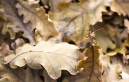 小甲虫坐一棵下落的橡木离开 库存照片