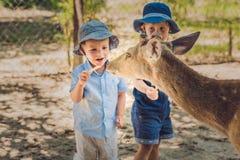 小男孩哺养的鹿在农场 特写镜头 免版税库存照片