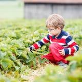 小男孩采摘和吃草莓在莓果种田 免版税库存图片