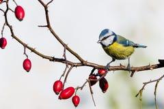 小男性青山雀在有刺的玫瑰果枝杈栖息 图库摄影