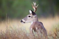 小白尾鹿大型装配架画象 库存图片