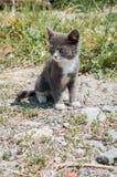 小白灰色猫 免版税库存图片