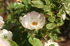 小白玫瑰:精神恋爱 库存照片