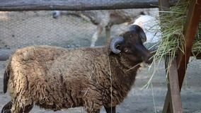小白羊星座在动物园吃着干草 影视素材