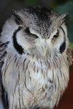 小白色和灰色猫头鹰 库存图片
