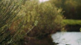 小白色昆虫蚊特写镜头云彩在空气的在森林背景中 在狂放自然的夏天温暖的晴朗的大气 影视素材