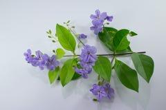 小白色混合紫罗兰色花或Duranta repens开花isolat 免版税库存照片