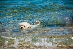 小白色狗游泳在海 关于动物和自然,夏天晴朗的天气的概念 免版税库存图片
