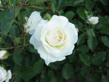 小白色玫瑰 库存照片