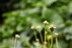 小白色瓣和黄色花粉花在有拷贝空间的公园 免版税库存照片