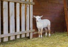 小白色羊羔 图库摄影