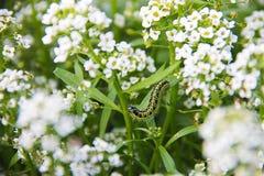 小白色芬芳花地毯- alissum 庭院的明亮的夏天图片 背景被弄脏 库存图片