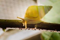 小白色蜗牛 免版税图库摄影