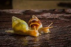 小白色蜗牛 图库摄影