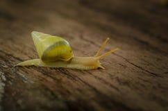 小白色蜗牛 免版税库存照片