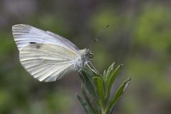 小白色蝴蝶皮利斯rapae 库存照片