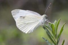 小白色蝴蝶皮利斯rapae 免版税库存照片