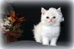 小白色西伯利亚小猫 库存图片