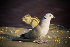小白色鸠和贮藏寻找在地面上的食物 免版税库存图片