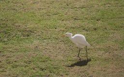 小白色鹳在一块沼地走在一个晴天 库存图片