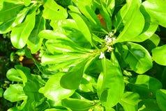 小白花和美洲红树树大绿色叶子  免版税库存照片