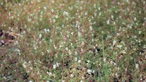 小白花在绿草背景中在森林里 影视素材