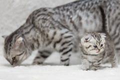 小白苏格兰人折叠与灰色妈妈的小猫 库存图片