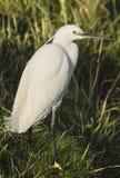 小白鹭在河岸中 免版税库存图片