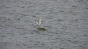 小白鹭然后飞行白鹭属的garzetta坐岩石在水中  影视素材