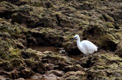 小白鹭白鹭属寻找在微小的水池的Garzetta食物 库存图片
