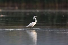 小白鹭趟过在黑暗的水中的白鹭属garzetta 库存照片