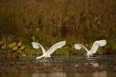 小白鹭,白鹭属garzetta,寻找食物的两只鸟 图库摄影