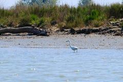小白鹭,鸟的监视人 免版税库存照片