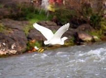 小白鹭-白鹭属Garzetta -与被涂的翼的一次小白色苍鹭鸟飞行本质上 免版税库存图片