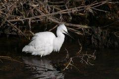 小白鹭/趟过在有被展开的白色全身羽毛的河的白鹭属garzetta  库存照片