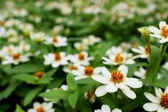 小百日菊属Elegans花绽放的白色或黄色颜色的有选择性的关闭在绿色的留下背景 免版税库存图片