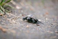 小的乌龟在地面,宏指令上爬行 免版税库存图片
