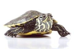 小的乌龟 免版税库存图片