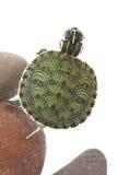 小的乌龟 免版税库存照片