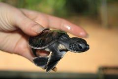 小的乌龟崽 库存图片