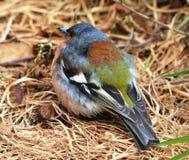 小的五颜六色的新西兰鸟。 免版税库存图片