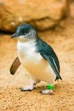 小的企鹅 库存照片