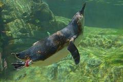 小的企鹅Eudyptula较小游泳在水中 免版税库存照片