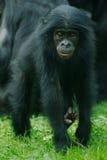 小的倭黑猩猩猴子 免版税图库摄影