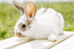小的兔子,黑白衣服,兔宝宝吃绿色gras 免版税库存图片