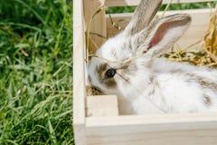 小的兔子,黑白衣服,兔宝宝吃绿色gras 图库摄影