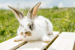 小的兔子,黑白衣服,兔宝宝吃绿色gras 库存照片