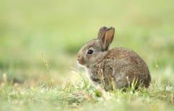 小的兔子 图库摄影