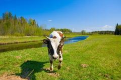 小的公牛 库存图片