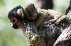 小的共同的松鼠猴子-妈妈 免版税库存照片